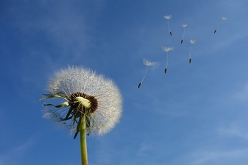 Flower Dandelion Seeds Plant Sky Nature Spring