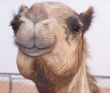 Transportation Desert Camel Dubai