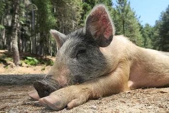 Wild Pig Pig Corsica Little Pig Piglet