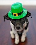 Dog Humor Puppy Cute St Patrick's Day Chihuahua